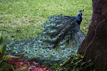 Peacock with Display Feathers, Fountain of Youth, St. Augustine, Florida