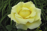 Castle Farms Pale Yellow Rose, Charlevoix, Michigan