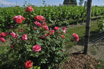 Roses at Grape Row in Vineyard, Chateau Grand Traverse, Old Mission Peninsula, Michigan