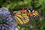 Monarch Butterfly on Globe Thistle, Appleton, Wisconsin