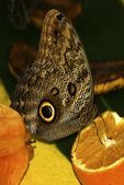 Owl Butterfly at Fruit, Butterfly Place, Westford, Massachusetts