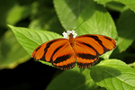 Banded Orange Butterfly, Butterfly Place, Westford, Massachusetts