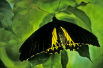 Golden Birdwing Butterfly, Butterfly World, Coconut Creek, Florida