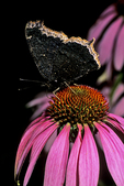 Mourning Cloak Butterfly on Coneflower in Prairie, Appleton, Wisconsin