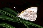 Cabbage Butterfly in Prairie, Appleton, Wisconsin