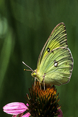Sulphur Butterfly on Coneflower, Appleton, Wisconsin