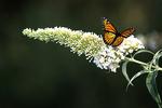 Monarch Butterfly on White Buddleia, Appleton, Wisconsin