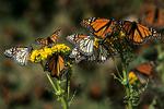 Monarch Butterflies on Asclepia Plants, El Rosario, Mexico