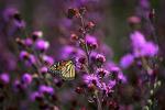 Monarch Butterfly on Blazingstar Flower, Westfield, Wisconsin