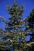 Monarch Butterflies on Oyamel Pine Trees, El Rosario, Mexico