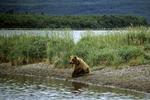 Brown Bear at Brooks River, Katmai, Alaska