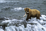 Brown Bear with Salmon at Brooks Falls, Katmai, Alaska