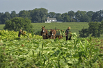Amish Farmer Cutting Tobacco, Lancaster County, Pennsylvania