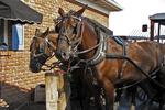 Friendly Amish Horses, Lancaster County, Pennsylvania