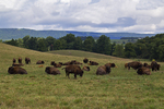 Bison Herd, Bedford County, Old Lincoln Highway, Pennsylvania