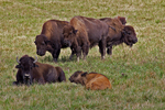 Bison Herd, Old Lincoln Highway, Bedford County, Pennsylvania