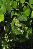 Caywood Vineyards White Grapes, Seneca Lake, Finger Lakes, New York