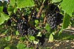 Serenity Vineyards Grapes, Lake Seneca, Finger Lakes, New York