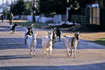 Goats on the Road, Ust-Barguzin, Siberia, Russia