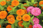 Orange and Pink Zinnias in the Garden, Appleton, Wisconsin