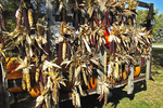 Indian Corn for Sale, Gehring Farm, Freedom, Wisconsin