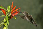 Anna Hummingbird & Mexican Honeysuckle Flower, Miller Canyon, Arizona