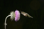 Anna Hummingbird at Thistle Flower, Miller Canyon, Arizona