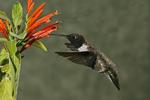 Black-chinned Hummingbird at Mexican Honeysuckle, Miller Canyon, Arizona