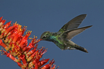 Broad-billed Hummingbird at Flower, Miller Canyon, Arizona