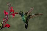 Broad-billed Hummingbird at Scarlet Betony Flower, Miller Canyon, Arizona