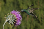 Broad-billed Hummingbird at Thistle Flower, Miller Canyon, Arizona