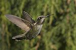 Immature Anna Hummingbird, Miller Canyon, Arizona