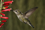 Female Broad-billed Hummingbird at Firecracker Penstemon Flower, Miller Canyon, Arizona
