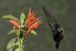 Broad-billed Hummingbird at Mexican Honeysuckle Flower, Miller Canyon, Arizona