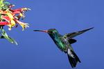 Broad-billed Hummingbird at Desert Lobelia Flower, Madiera Canyon, Arizona