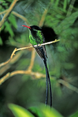 Western Streamertail Hummingbird, Butterfly World, Coconut Creek, Florida