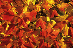Red Fall Maple Leaves, Appleton, Wisconsin