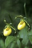 Yellow Ladyslipper Wildflowers, Door County, Bailey's Harbor, Wisconsin