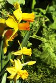 Yellow Daffodils, Milwaukee Domes, Milwaukee, Wisconsin