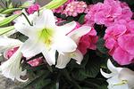 Easter Lilies and Hydrangea, Milwaukee Domes, Milwaukee, Wisconsin