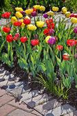 Tulips in the Garden, Gardens of the Fox Cities, Appleton, Wisconsin