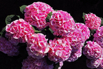 Pink Hydrangeas at Milwaukee Domes in Spring, Milwaukee, Wisconsin