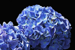 Blue Hydrangeas at Milwaukee Domes in Spring, Milwaukee, Wisconsin
