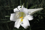 Easter Lily at the Milwaukee Domes, Milwaukee, Wisconsin