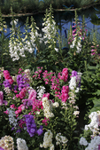 Matthiola and Foxglove Flowers at Spring Show at Milwaukee Domes, Milwaukee, Wisconsin