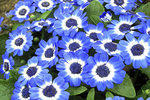 Blue Cineraria Flowers, The Domes, Milwaukee, Wisconsin