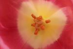 Pink Tulip Closeup in the Garden, Gardens of Fox Cities, Appleton, Wisconsin