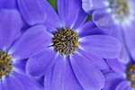 Closeup of Purple Cineraria, The Domes, Milwaukee, Wisconsin