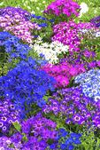 Cineraria Flowers in the Garden, Appleton, Wisconsin