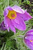 Pasque Flowers in the Rain, Boerner Botanical Gardens, Milwaukee, Wisconsin